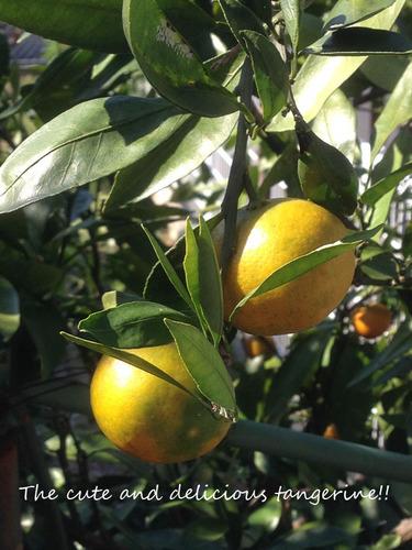 tangerin.jpg